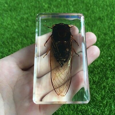 Real Insects Specimen Black Cicada in clear Paperweight Kids Learning and Gift