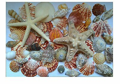 Assorted Mixed Seashells Set of 50 with Knobbly Pointer Starfish and Scallops