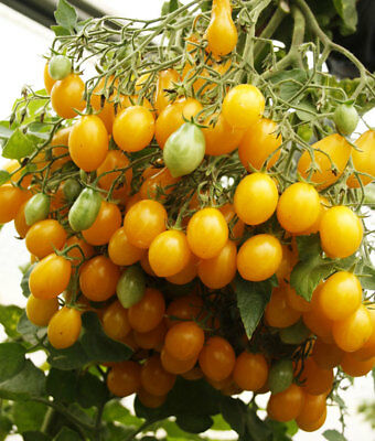 Tomato SWEET GOLD BUNCH seeds yellow cherry tomatoes Ukraine 20 seeds D