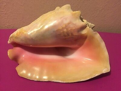 """Large 9"""" Real Conch Seashell Pink Ocean Decoration Display Wow!"""