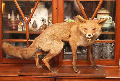 A Fine, Antique Early c20th Taxidermy Fox on Wooden Base, Specimen No 2