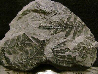 Gorgeous Alethopteris Fern Fossil from the Carboniferous, Pennsylvanian Period