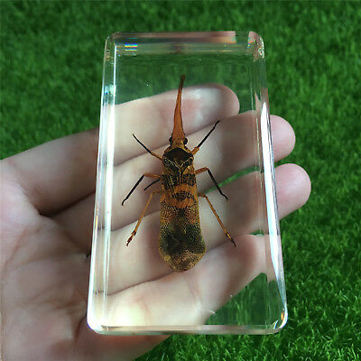 Yellow Spot Lantern Fly Pyrops candelaria Specimen in clear Paperweight Block