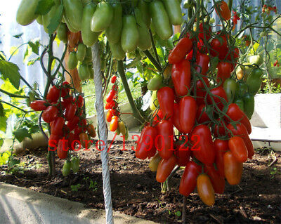 Big cherry tomato tree seeds italy new tomato seeds fruit and vegetable 100PCS