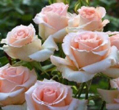 MARY MACKILLOP ROSE Hybrid Tea fragrant high-centred soft-pink flowers plant