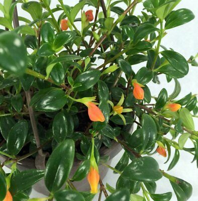"""Goldfish Plant - Live Plant - 6"""" Hanging Basket - Blooms Frequently!"""
