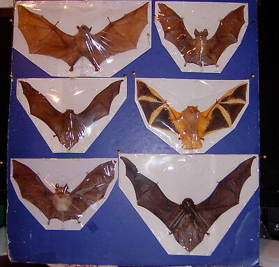 Bat Taxidermy  Special 6 Lot 5 Different Species Some Rare Great Display