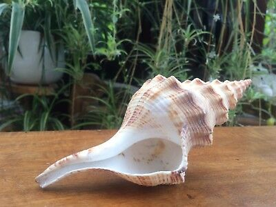 large shell long &  pointy shell beautiful decorative collectable seashell
