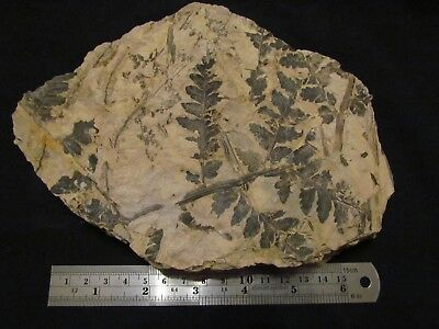 Stunning Mariopteris Fern Fossil from the Carboniferous, Pennsylvanian Period