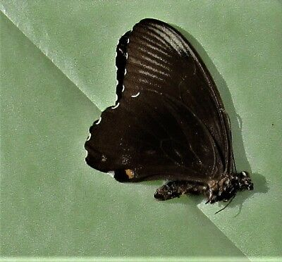 Ambrax Swallowtail Butterfly Papilio ambrax lutosa Male Folded FAST FROM USA