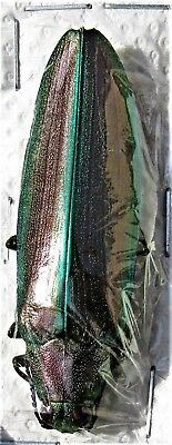 Metallic Jewel Beetle Megaloxantha purpurascens peninsulae FAST SHIP FROM USA