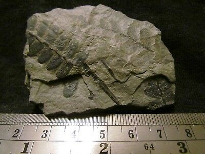 Beautiful Pecopteris Fern Fossil from the Carboniferous, Pennsylvanian Period