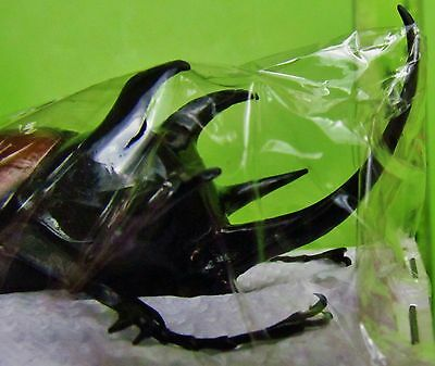 Five-Horned Rhinoceros Beetle Eupatorus gracilicornis Male Taxidermy FAST USA
