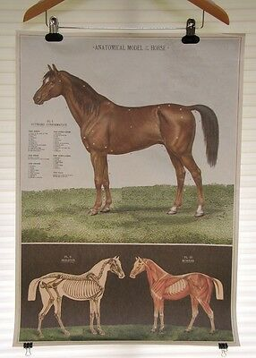 VINTAGE HORSE ART PRINT POSTER anatomy veterinary muscles chart 20 x 28 racing