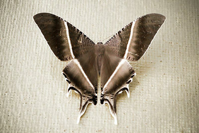 Rare Swallowtail Moth or Laos Brown Butterfly Lyssa zampa Folded FAST FROM USA