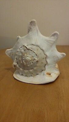 LARGE CONCH (QUEEN HELMET) SEA SHELL 230 mm X 210 mm X 200 mm CREAM & APRICOT