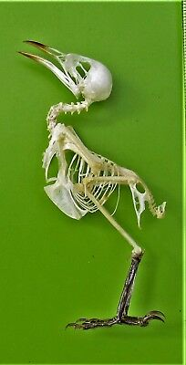 Mees's White Eye Bird Lophozosterops javanicus Skeleton FAST FROM USA