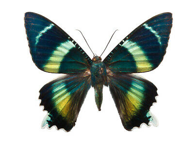 Magnificent Iridescent Day Flying Moth Alcides orontes Folded FAST FROM USA
