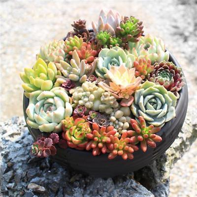 400pcs Hot Rare Mixed Succulent Seeds Lithops Living Stones Plants Cactus P UKP