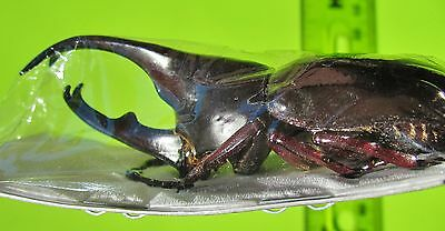 Rhino Fighting Beetle Xylotrupes gideon gideon Male 60-65mm FAST FROM USA
