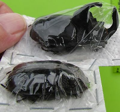 """Rhino Beetle Trichogomphus simson Pair 50 mm or 2"""" Male Taxidermy FAST FROM USA"""