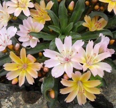 Ex341 Lewisia Longipetala Little Peach x20 seeds