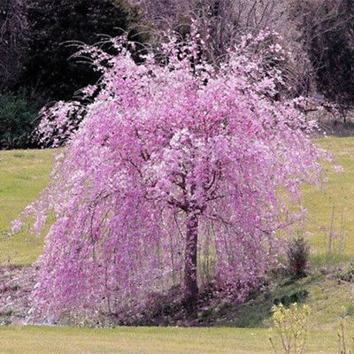 20× Pink Fountain Weeping Cherry Tree Seeds Garden Yard Dwarf Tree Plants Nice