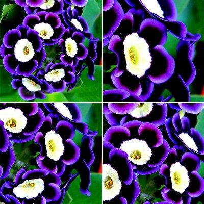 100 Pcs Rare Stunning Indoor Garden Bonsai Tricolor Petunia Flower Seeds Nice