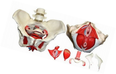 Life Size Medical Anatomical Female Pelvis Model with Removable Organs 7-Parts