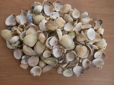 Cockle Shells for Crafts and Decoration ..