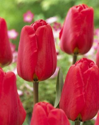 Red tulip Bulbs. (Pack of 10)