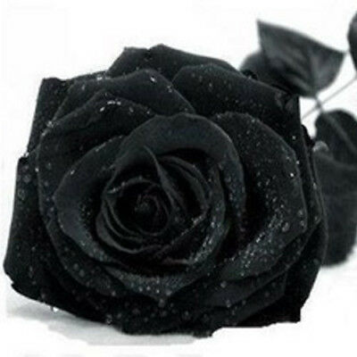 USA SELLER-Beautiful Rare Black Rose Seeds-20 Seeds-Perfect for Patio/Yard