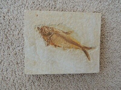 "Diplomystus Fish Fossil from the Green River Wyoming fossil beds 6 1/8"" long"