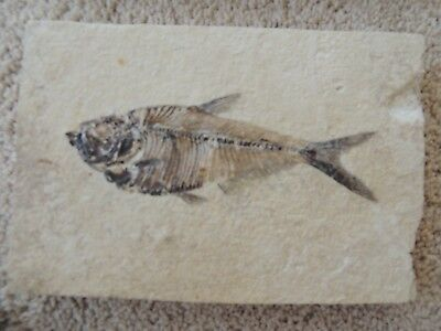 Diplmystus Fish Fossil from the Green River Wyoming fossil beds