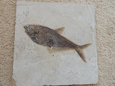 "Diplomystus Fish Fossil from the Green River Wyoming fossil beds 10 1/4"" long"