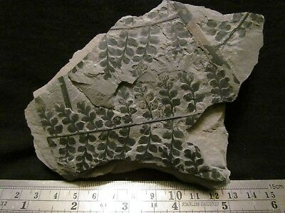 Amazing Eusphenopteris Fern Fossil from the Carboniferous, Pennsylvanian Period