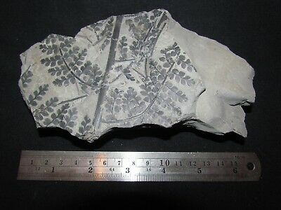 Stunning Eusphenopteris Fern Fossil from the Carboniferous, Pennsylvanian Period