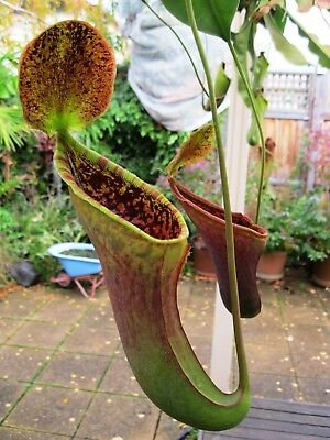 Nepenthes lowii x campanulata - rare carnivorous plant