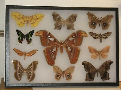 Real framed Worldwide Moth Collection #4