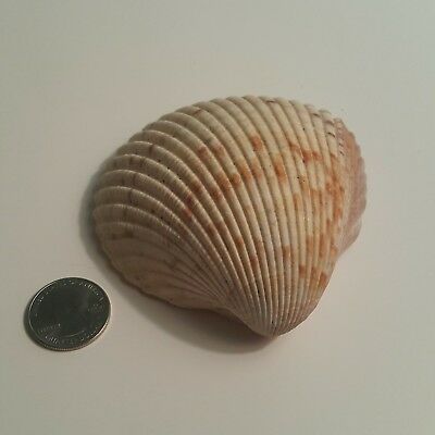 "Collectible Large  Cockle Florida Seashell 3.75""X3.75"" Ivory Rare Craft Beach"