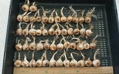 50 Saffron Crocus sativus corms ( LARGE bulbs).