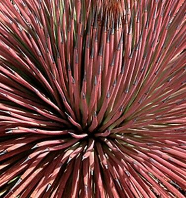 SU007 Red Agave Stricta Rubra x10 seeds