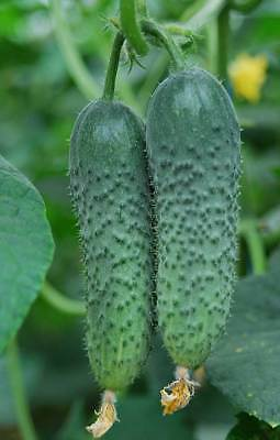 Cucumber AMOUR F1 Seeds hybrid cucumbers seeds 10 seeds or 50 seeds or 100 seeds