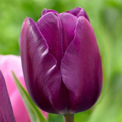 Deep Purple tulip Bulbs. (Pack of 10)
