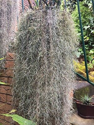 Air Plant - Spanish Moss(Tillandsia Usneoides) - one package