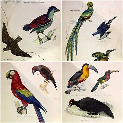 Old Antique 19th Century Natural History Mammals Birds Ornithology Col Plates