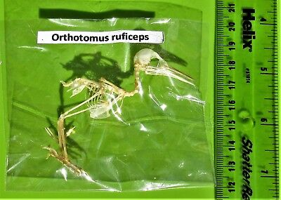 Uncommon Ashy Tailorbird Orthotomus ruficeps Skeleton *DAMAGED* FAST FROM USA