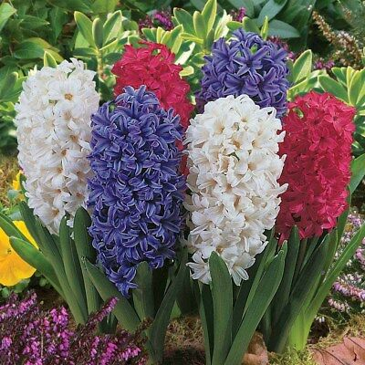 Mixed Hyacinth Bulbs - Blue White Burgundy. Hyacinthus orientalis (Pack of 6)