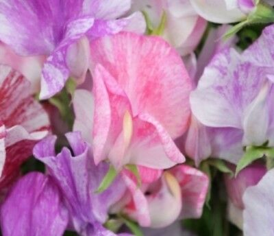 F1014 Sweet Pea Streamer Pink x10 seeds Scented Winter Cut Flower