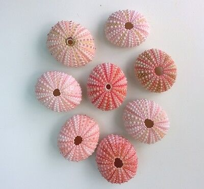 Small Pink Sea Urchins 4cm Seashells Nautical Sea Shells Urchin Pack 2, 3, 4,5